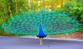Who Saw The Peacock Dancing in the Forest – by Aaqib ibn Amin